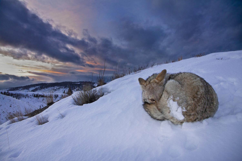 этого картинки где спят волки допускают попадания механических