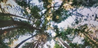Picture of an ancient forest, angled upwards to showcase height of trees